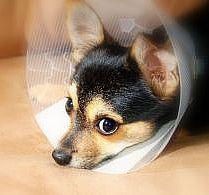 Cómo limpiar y cuidar la incisión de un perro