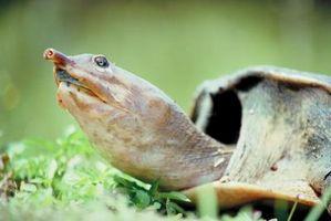 Cómo cuidar de un Soft Shell Hatchling de la tortuga