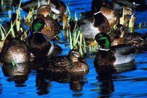 Los permisos para la crianza de patos salvajes en SC