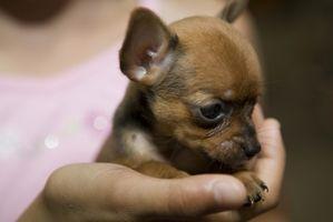 Chihuahua del perrito Cuidado: alergias de la piel