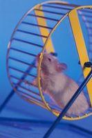 Cómo mantener una rata blanca doméstica