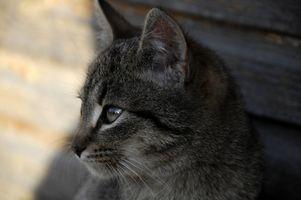 El comportamiento de un gato recién esterilizadas