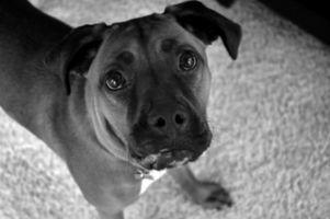 El cáncer en perros Boxer
