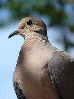 Cómo criar gris del bebé y anillo blanco de la paloma Aves