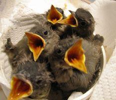 Cómo alimentar a las aves silvestres bebé