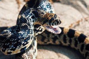 ¿Cómo saber la edad de una serpiente de Bull