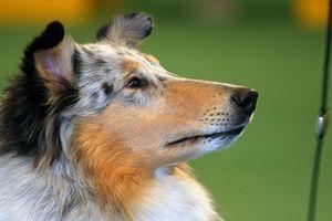 ¿Puede dar Cipro para la infección de próstata perro?