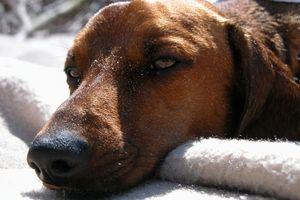 Cómo insertar Colirio de un perro