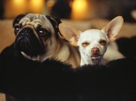 Soluciones de limpieza para los oídos para perros