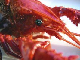 Cómo cuidar de agua dulce langosta azul del cangrejo de río