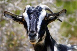 Cómo evitar que las cabras se queden atascados en una cerca