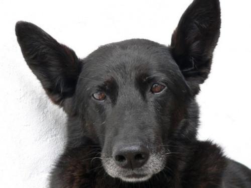 Cómo Pila de un perro pastor alemán