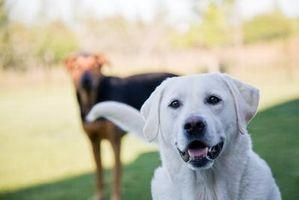 Cómo llevar a casa un nuevo perro a su perro viejo