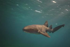 Sitios de tiburón que se alimentan en las BVI