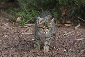Aloe Vera para el tratamiento de abscesos gato