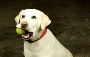 Cómo limpiar un canal del oído canino