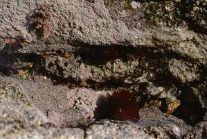 El Cuidado de la anémona púrpura del tubo