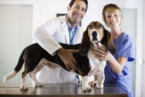 Cómo cuidar a un perro con una fractura en la espalda
