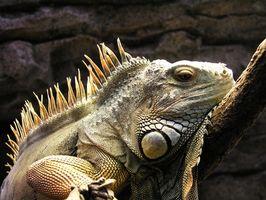 Cómo construir una jaula interior de la iguana