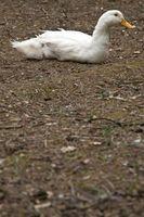Cómo saber la diferencia entre un macho y una hembra de pato Pekin