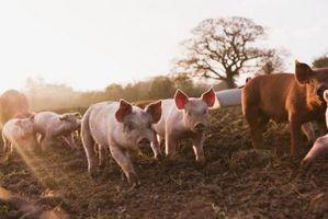 ¿Cómo los cerdos digerir la celulosa?