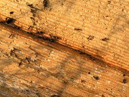Las hormigas cuales viven en los árboles?
