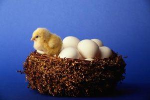 Cómo saber si una gallina Está Poniendo