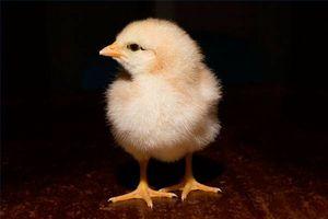 Los síntomas de la gripe aviar en aves