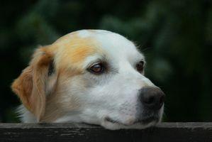 Cerebro Tumor del tronco en un canino