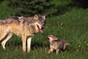 La relación genética entre los perros y los lobos