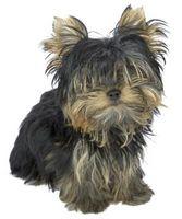 Lo que debe saber un cachorro Yorkie