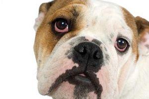¿Por qué mi cachorro Tener un ojo hinchado hay una parte roja y blanca?