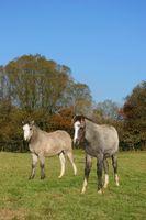 ¿Qué es la enfermedad navicular en un caballo?