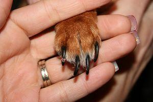 ¿Por qué los perros Chew las uñas?