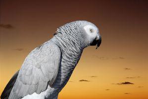 Cómo saber sexos de los loros grises africanos