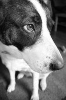 El tratamiento de masaje para los perros que tienen convulsiones