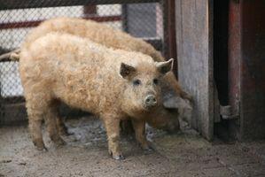 Cómo hacer un aumento de peso de los cerdos