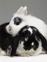 ¿Se puede mantener dos conejitos Mujer hermana en la misma jaula?