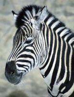 ¿Cómo funcionan las cebras tienen un efecto sobre el ecosistema?