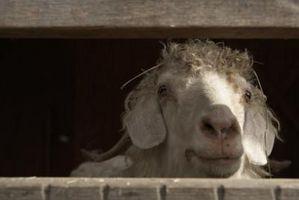 Cómo quitar Mats Desde una cabra de Angora