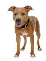 ¿Qué es una Línea-Bred pitbull?