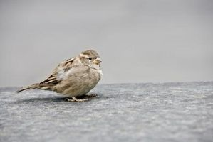 Cómo arreglar un roto ala del pájaro
