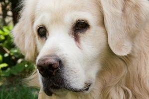 Curas naturales para la sarna en perros Rojo