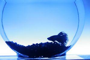 Cómo tratar la enfermedad de la vejiga natatoria de los pescados de Betta