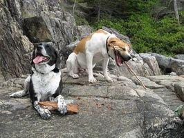 Tratamientos caseros para la diarrea del perro, vómitos y pérdida de apetito