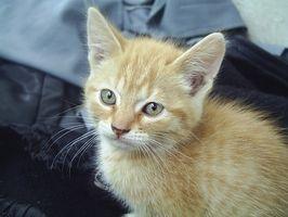 ¿Cuáles son las complicaciones de los gatos nacen con un soplo cardíaco grave?