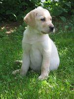 Cómo alimentar cachorros de Labrador