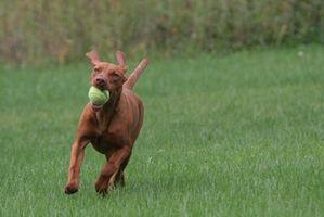 Cómo limpiar los oídos de un perro con vinagre y agua