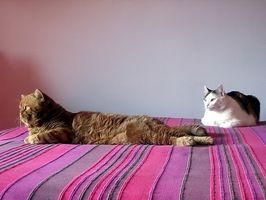 Cómo quitar la orina del gato y Feces olores