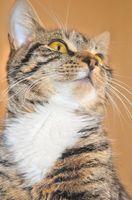 El cáncer de mandíbula en los gatos